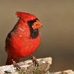 The Red Cardinal